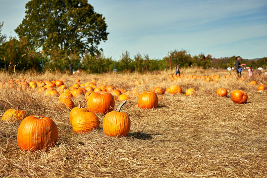 Pumpkin patch in a field of straw. Background for fall, autumn, Halloween, Thanksgiving, seasonal display. Shallow focus.