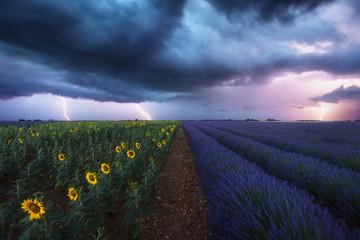 Champ de lavandes et de tournesols sous les orages et éclairs. Provence, France