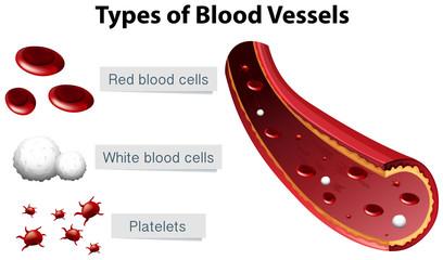 Types of Blood Vessels Illustration