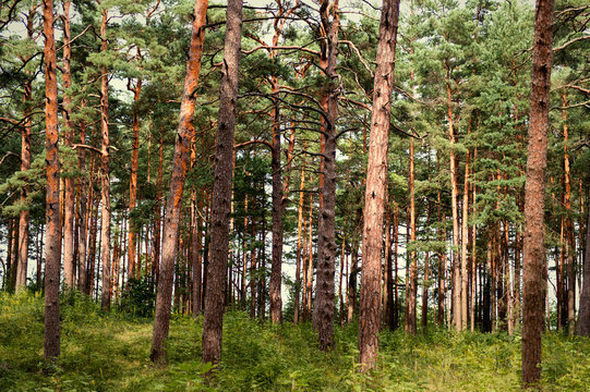 Deep pine forest.  Nature and wilderness concept. Tree background. Wood pattern. Wild forest concept.