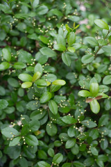 Simpson's Stopper or Twinberry Florida native blooming shrub plant wild and used for landscaping. Myrcianthes fragrans