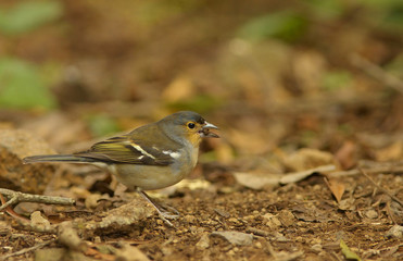 Detailed view of a color subspecies of a chaffinch living in the Canary Islands