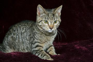 Striped Cat On Dark Background