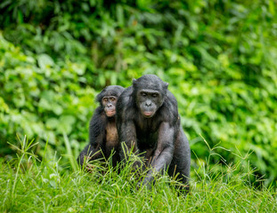 Bonobo mother with a baby on a background of a tropical forest. Democratic Republic of the Congo. Africa.
