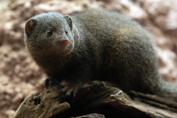 Dwarf mongoose from africa portrait