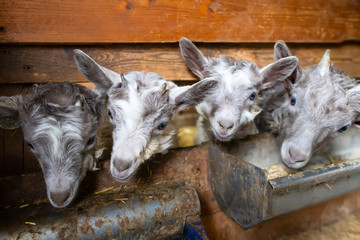 Little goats in the stable near manger