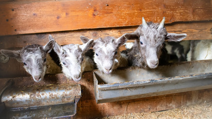 Little goats in a stable that produces sheep's milk