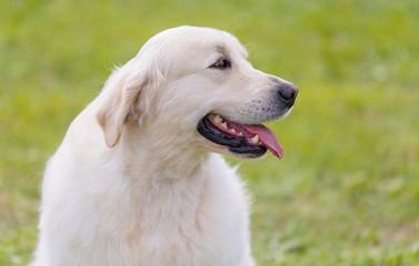 Photo of a Golden retriever dog