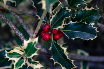 dark christmas branches with red berries