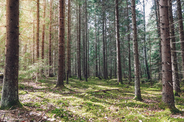Keuken foto achterwand Olijf Sunshine in a green mossy forest in the spring. Sweden.