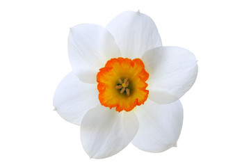 Close-up white daffodil flower with orange center isolated on white background