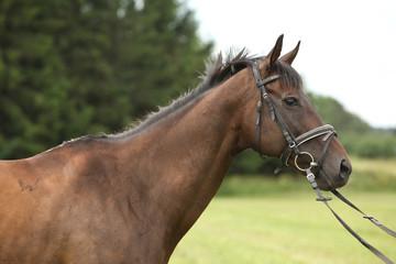 Nice brown purebred horse
