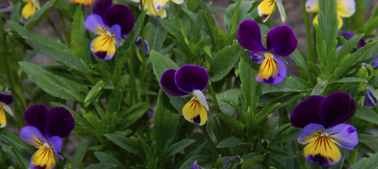 Violets on a green background