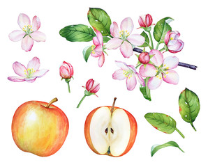 Hand drawn watercolor parts of the apple tree. Fruits, flowers and green leaves isolated on white background.