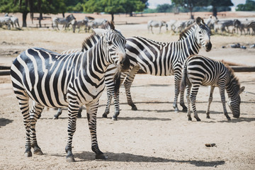 A herd of zebras grazing in the reserve in a safari. Zebras are several species of African equids (horse family) united by their distinctive black and white striped coats. Their stripes come in differ