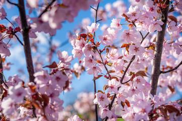 Sakura Tree and Flying Bee. Beautiful Sakura Garden in Lithuania.