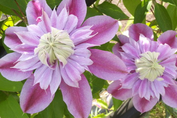 美しいピンクのクレマチスの花 - Beautiful pink clematis flower