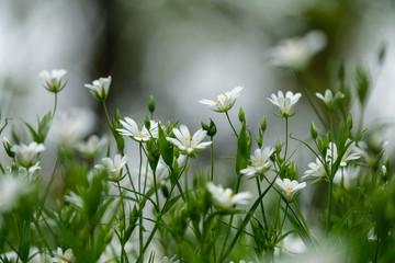 Fleurs : stellaire holostée