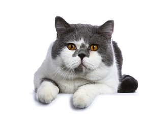 Big blue with white and bright orange eyes male British Shorthair cat laying down facing front isolated on white background looking at camera