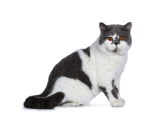 Big blue with white and bright orange eyes male British Shorthair cat sitting side ways and tail beside body isolated on white background looking at camera