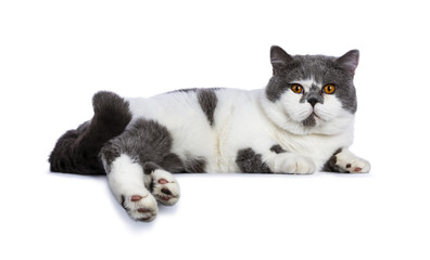 Big blue with white and bright orange eyes male British Shorthair cat laying down side ways  and tailcurled up isolated on white background looking at camera