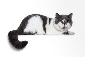 Big blue with white and bright orange eyes male British Shorthair cat laying down with paws stretched forward and tail hanging down isolated on white background looking at camera