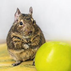Close-up portrait of cute animal small pet chilean common degu squirrel sitting with big green apple. The concept of a healthy lifestyle, diet and vegetarianism