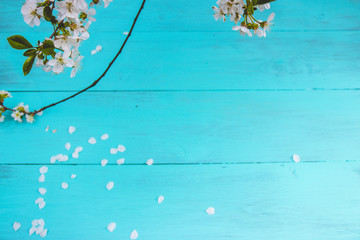 Flowering branch of a cherry tree on a turquoise wooden background.