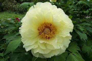美しい黄色のシャクヤク - Beautiful yellow peony flower