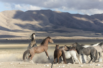 Onaqui Herd wild mustangs in the Great Desert Basin, Utah USA