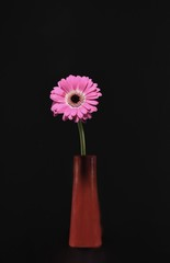 Pink daisy flower in a vase