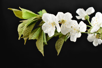 Blooming cherry tree stock images. Cherry branch on a black background. Spring floral decoration. Spring background concept. White cherry blossom flowering branche