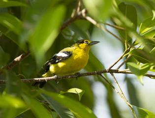 Small yellow bird on green tree