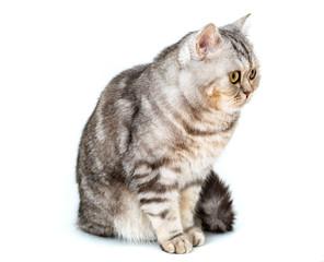 beautiful striped cat sitting on white background