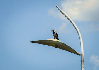 Raven sits on the mast of urban lighting and controls its territory