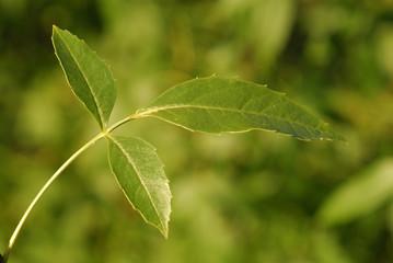 Fraxinus excelsior, Allergens Plants