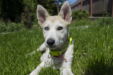siberian husky mix puppy playing outside , sunny day