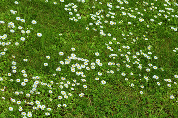 White daisies among the green grass, spring lawn, meadow grass. Selective focus.