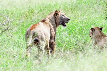 lion panthera leo in Kruger National Park in South Africa,region Loweer Sabie