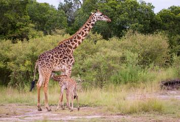 Giraffen-Baby saugt Milch bei der Giraffenmutter in der afrikanischen Savanne