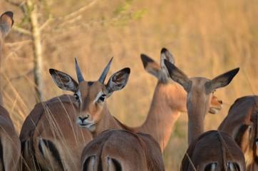 Poster Antelope impala2