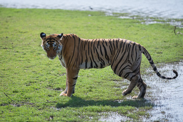 lady of the lake, ranthambore tiger reserve, india