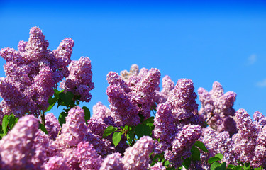 Wall Mural - lilac against the blue sky