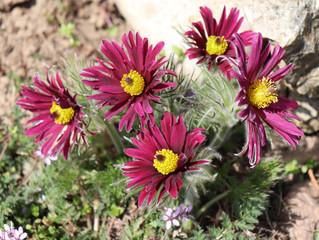 Pasque Flower, beautiful , spring flower (Pulsatilla vulgaris) - soft focus.