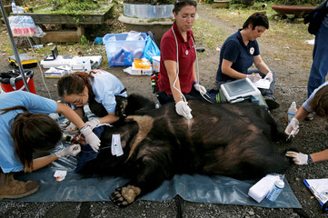 Veterinarians of Four Paws animals welfare charity, check May, a female moon bear, during her rescue from a bear farm for bile trading to a bear sanctuary, an animal welfare project by Four Paws in Ninh Binh province