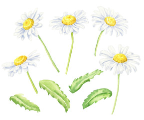 Hand drawn watercolor camomile with green leaves set, isolated on white background. Floral botanical illustration.