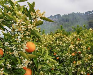 Valencian orange and orange blossoms. Spain.Spring
