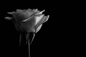 Beautiful rose. in balck and white. Close up