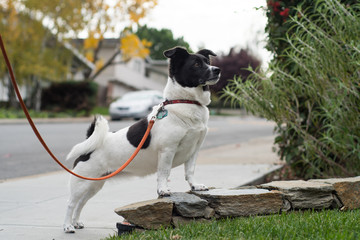 A small white and black dog with floppy ears and a curled tail on a leash in a dramatic pose along a sidewalk.