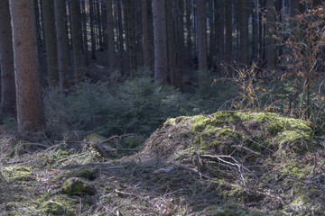 Look inside a coniferous forest in germany during spring time